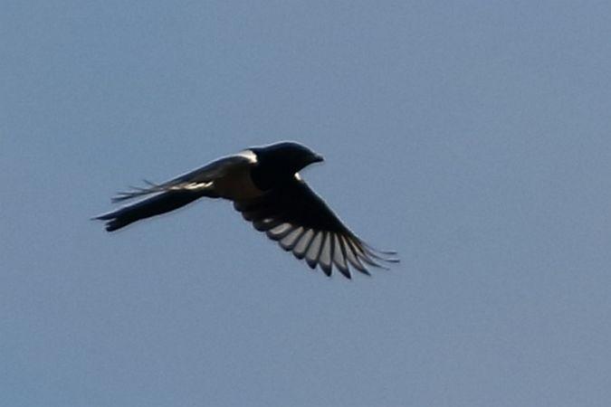 Eurasian Magpie  - Lorenzo Dalla Libera
