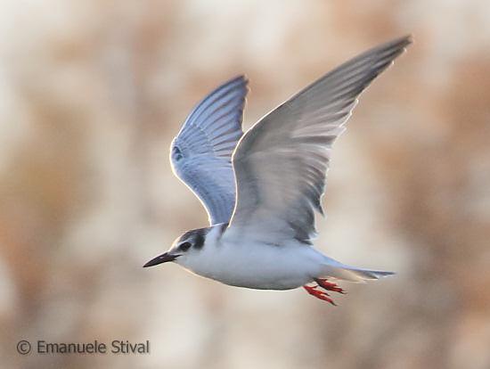 Whiskered Tern  - Emanuele Stival