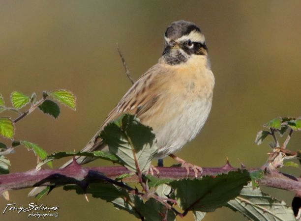 Black-throated Accentor  - Tony Solinas