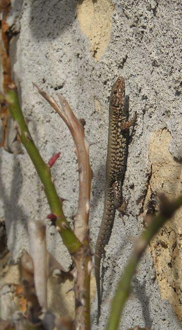 Common Wall Lizard  - Elvire Laurens