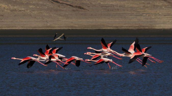 Greater Flamingo  - Stefano Tito