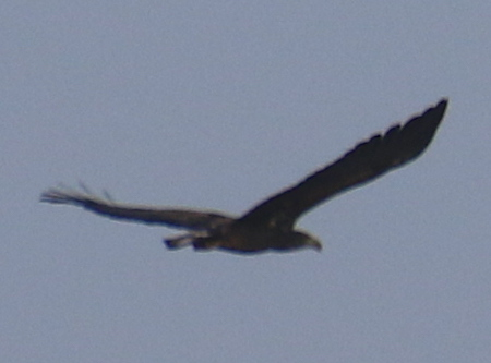 White-tailed Eagle  - Angelo Pasqua