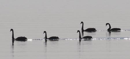Black Swan  - Angelo Pasqua