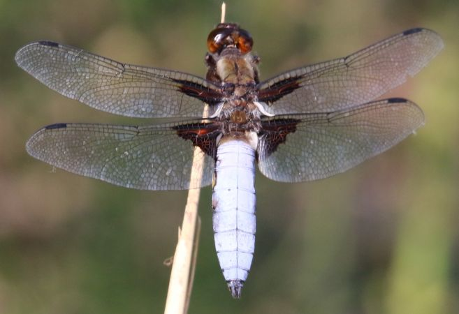 Broad-bodied Chaser  - Paolo Salvador