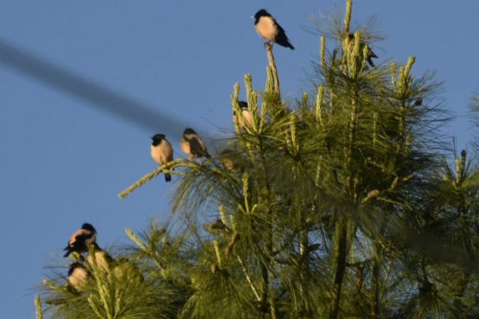 Rosy Starling  - Anonymous