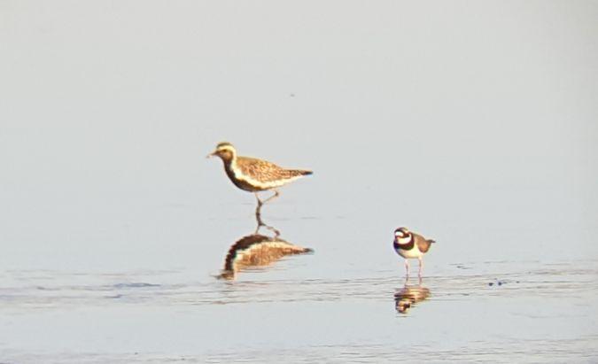 Pacific Golden Plover  - Alessio Usai