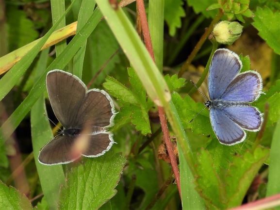 Short-tailed Blue  - Mirko Tomasi