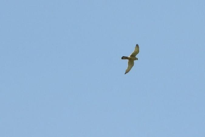 unidentified Falcon  - Maria Rita Gelso