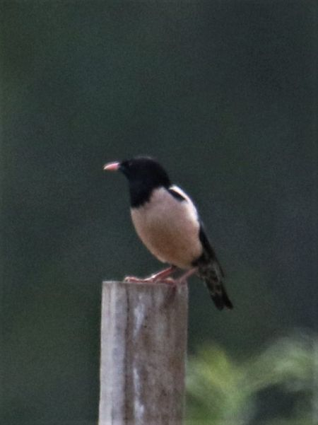Rosy Starling  - Horand Maier
