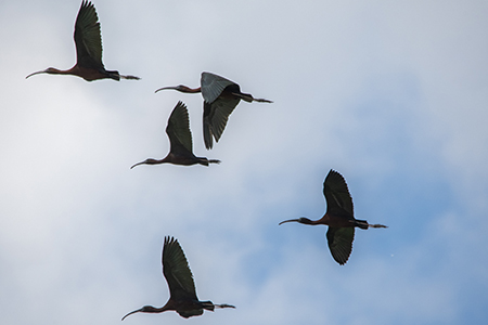 Glossy Ibis  - Marca Marca