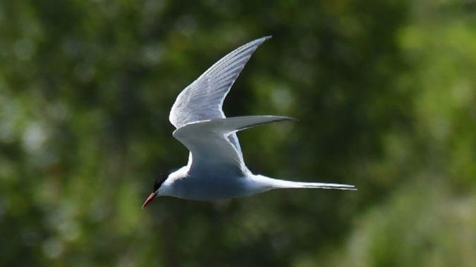 Arctic Tern  - Walter Sassi