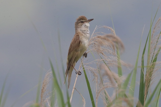 Great Reed Warbler  - Giuseppe Colombo
