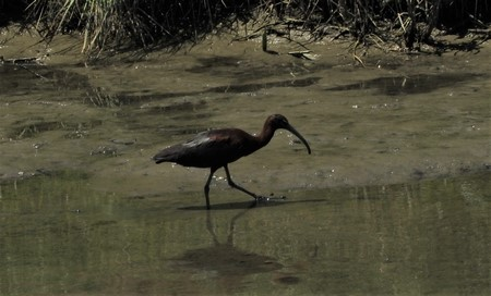 Ibis falcinelle  - Patrizio Gigli