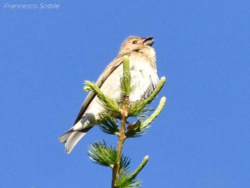 Common Rosefinch  - Francesco Sottile
