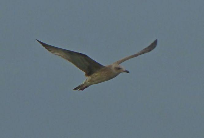 unidentified Gull  - Paolo Ricci