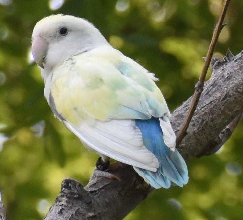 Grey-headed Lovebird  - Rossano Quirini
