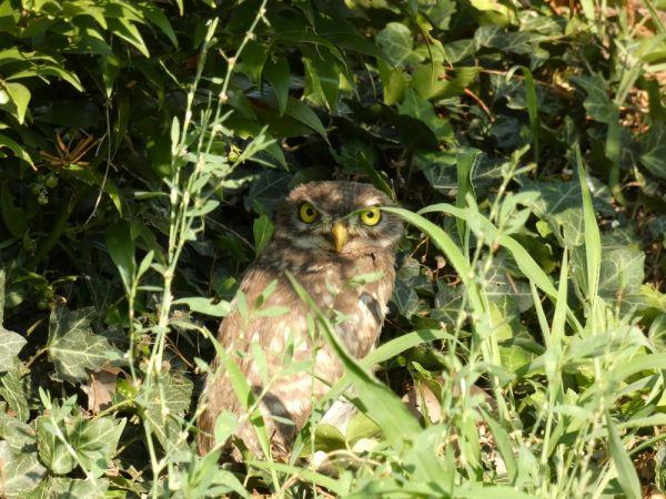 Little Owl  - Dario Porta