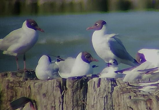 Little Gull  - Emanuele Stival