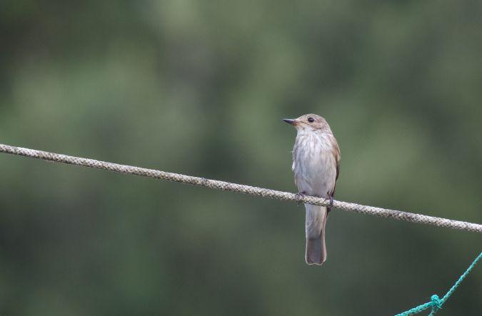 Spotted Flycatcher  - Maurizio Sighele