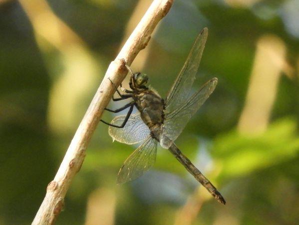 Black-tailed Skimmer  - Massimo Tassinari