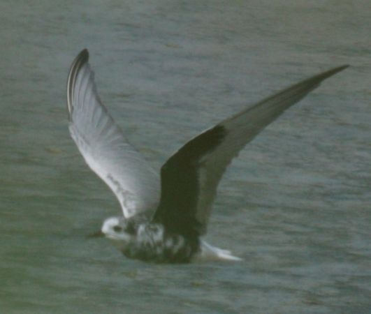White-winged Tern  - Maurizio Rossi