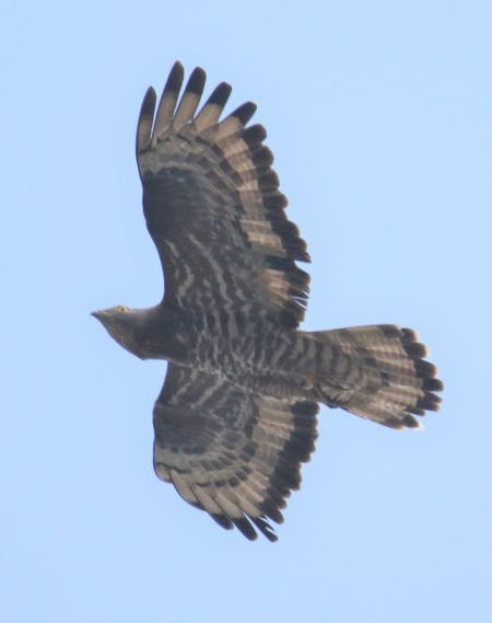 European Honey Buzzard  - Horand Maier