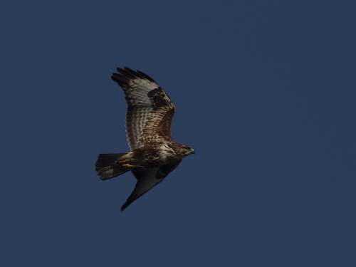 Common Buzzard  - Alessandro Poto