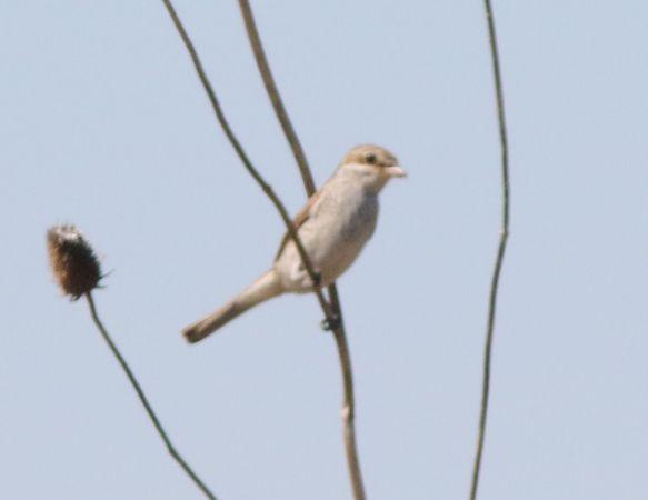 Red-backed Shrike  - Marco Pantalone
