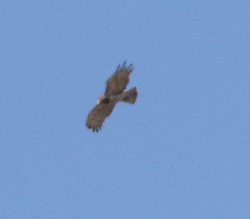 Short-toed Snake Eagle  - Marco Pantalone