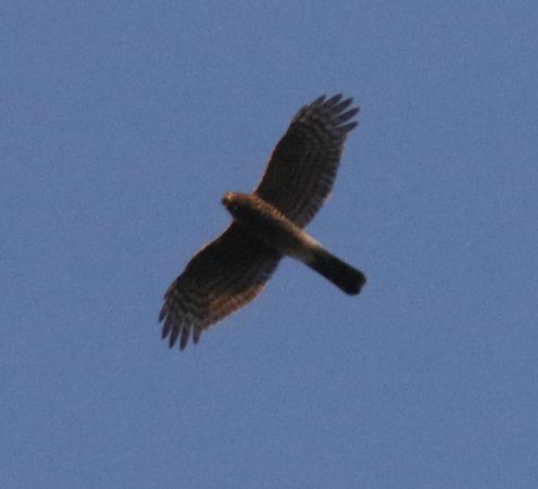 Eurasian Sparrowhawk  - Marco Pantalone