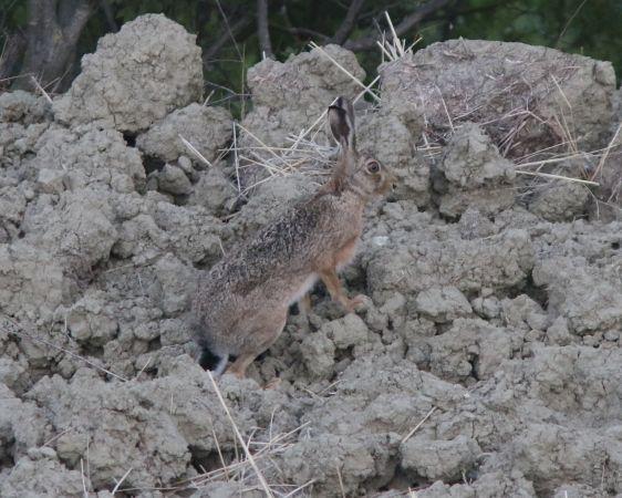 European Hare  - Marco Pantalone