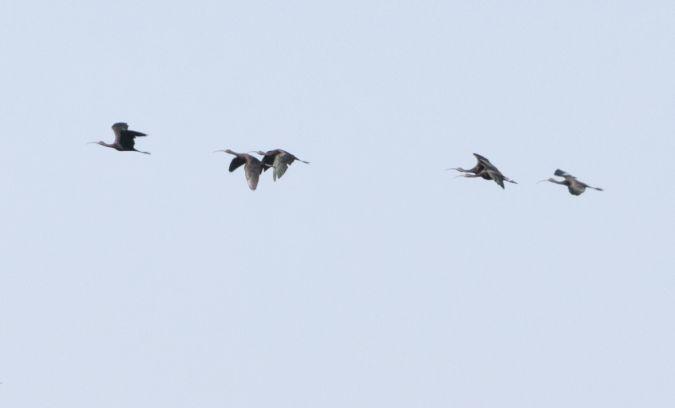 Ibis falcinelle  - Paolo Zucca