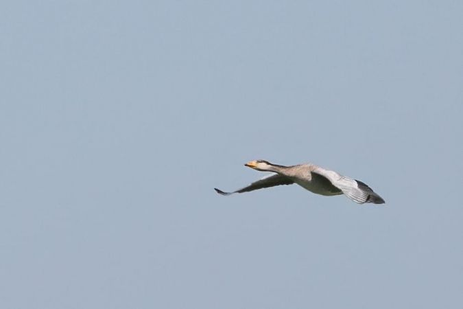 Goose hybrid, unidentified  - Paolo Zucca