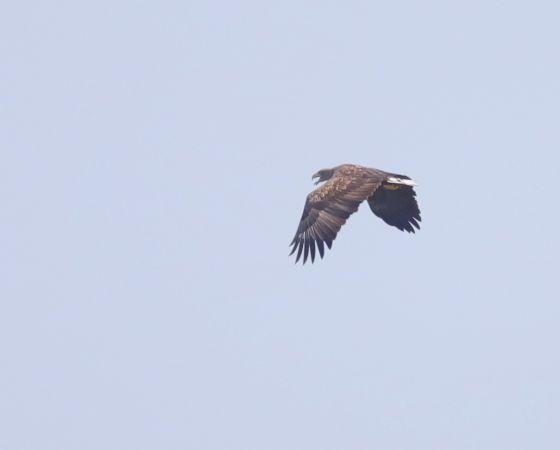 White-tailed Eagle  - Franco Sirtoli