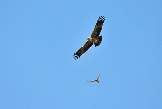Eastern Imperial Eagle  - Alfio Sala