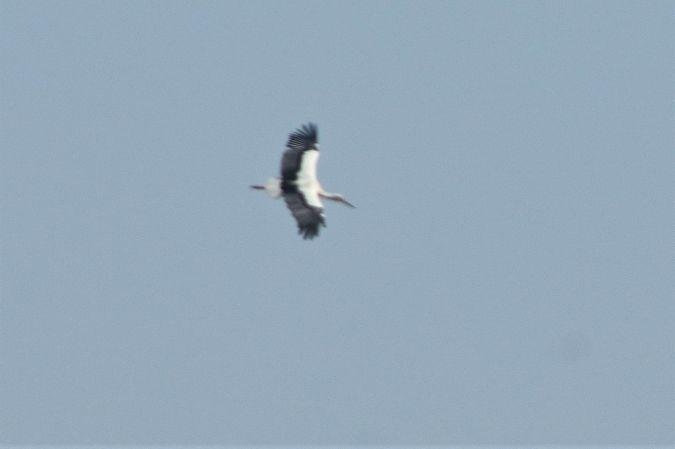 White Stork  - Lorenzo Cocco