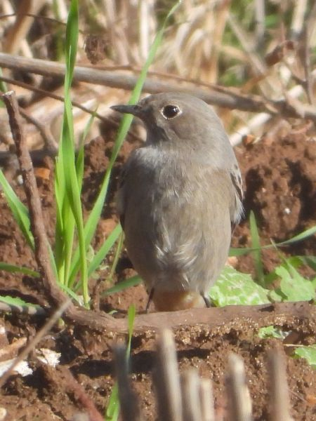Black Redstart  - Michele Cento
