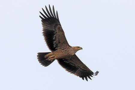 Eastern Imperial Eagle  - Maurizio Parenti