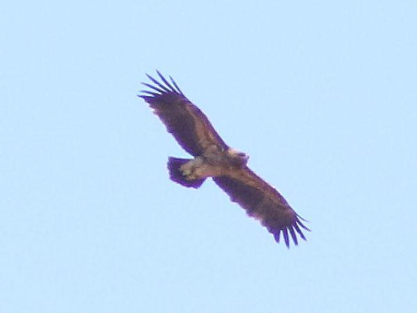 Greater Spotted Eagle  - Franco Zanatta