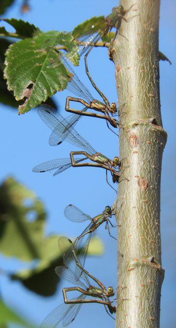 Lestes viridis  - Massimo Tassinari
