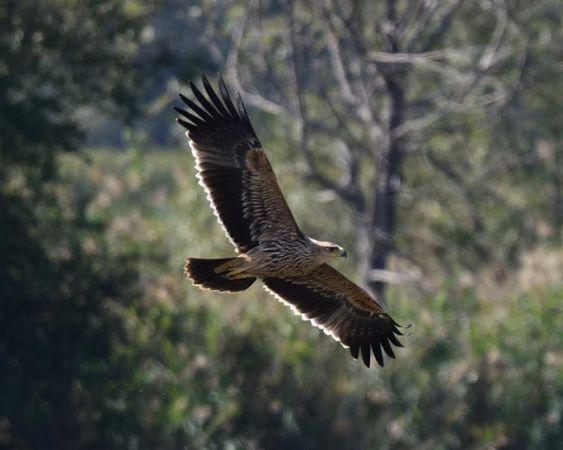 Eastern Imperial Eagle  - Ivaldo Gabasio