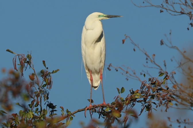 Great Egret (C.a.modestus)  - Giuseppe Colombo