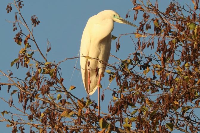 Airone bianco maggiore (ssp. modestus)  - Giuseppe Colombo