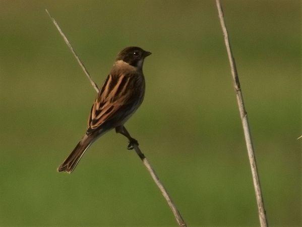 Common Reed Bunting  - Rossella Ronchetti