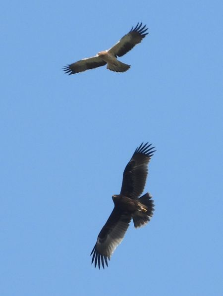 Greater Spotted Eagle  - Michele Cento