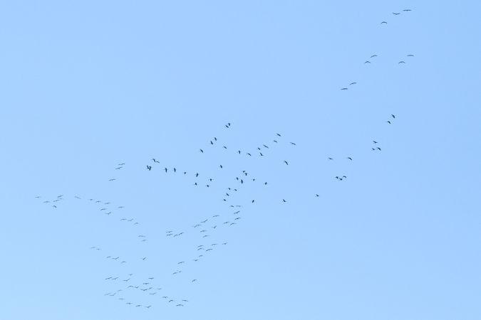 Common Crane  - Nicola Destefano