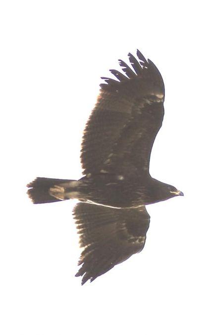 Lesser Spotted Eagle  - Antonino Sciortino