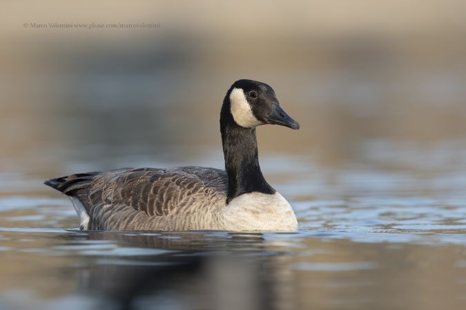 Canada Goose  - Marco Valentini