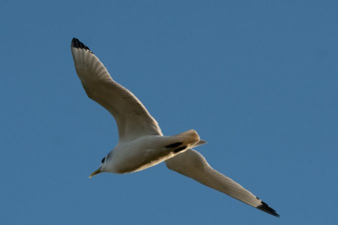 Black-legged Kittiwake  - Anonymous