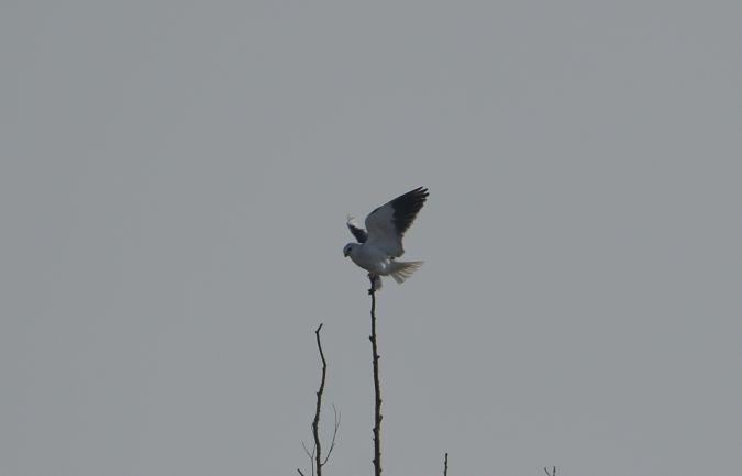 Black-winged Kite  - Leonardo Degl'innocenti